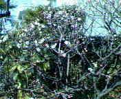Ume_2005211