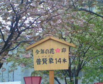 クロカル超人が行く 87 <br />  造幣局桜
