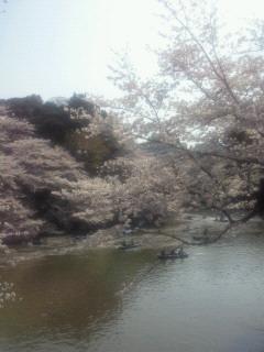 クロカル超人が行く桜の名所千鳥が淵、靖国神社の桜