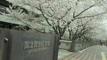 クロカル超人が行く 160   <br />  永田町界隈の桜